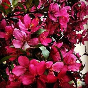 Flowering Crapapple Tree